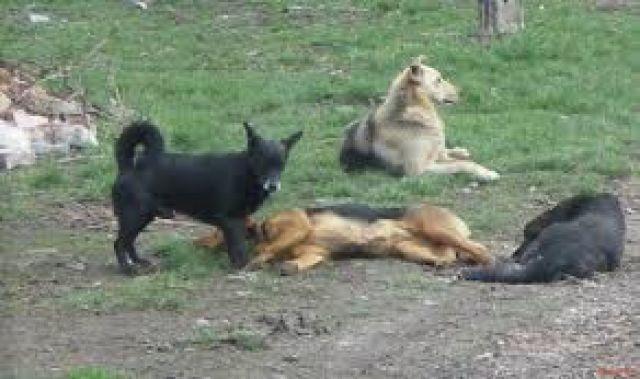 Отровиха куче в радомирско