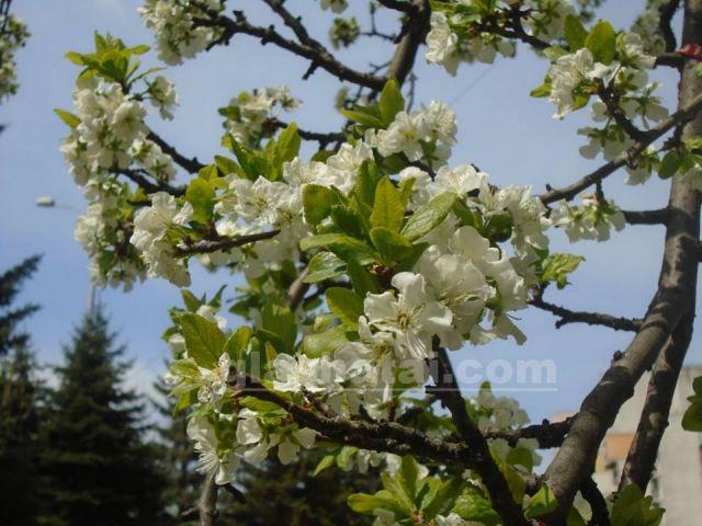цъфтящо дърво Цъфтящо дърво ще радва перничани в центъра   Перник цъфтящо дърво