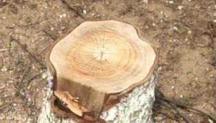 Унищожиха  плодните дръвчета на брезничанин