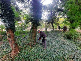 Премахват сухи и опасни дървета