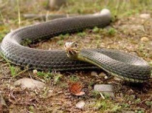 Общинари пръскат срещу змии в Радомир