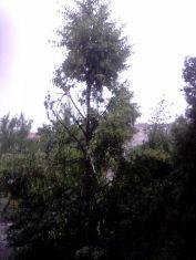 Берачи на липов цвят опоскаха дърветата в Мошино