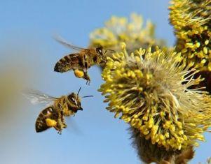 1,4 милиона души по света може да умрат заради изчезването на пчелите