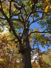 Две вековни дървета от трънско са финалисти в
