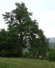 Министър  обяви за защитено вековно дърво на 300 години в трънско
