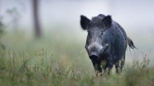 Диво прасе се разходи на магистралата край радомирско и беше сгазено