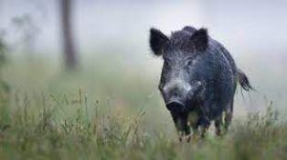 Чума по свинете в землището на пернишко село