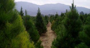 Продължава кампания по засаждане на коледни дръвчета