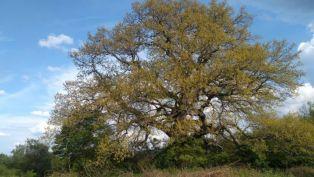 Трънско дърво с шанс да бъде