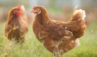 Пациент с пневмония и съмнение за Ковид 19 излезе от болница, за да нахрани кокошките
