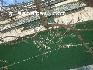 Пролетната читателска новина на Глашатай: цъфнаха дървета в Перник
